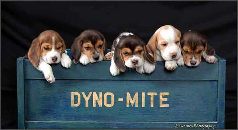 Puppies in Dyno-Mite Box